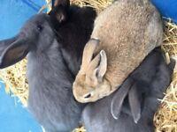 Mini Rex cross English angora rabbit kits.