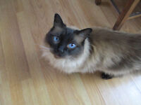 VERY TIMID FOUR YEAR OLD RAGDOLL MALE LOOKING FOR LOTS OF ATTENTION - INDOOR