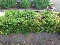 Boxwood shrubs for sale