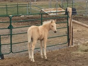 Palomino QH/Fjord foal - colt - SUMMER PRICE REDUCTION!