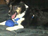 WANTED  Aussie shepherd (Toy,Mini) ~ (Female Only)