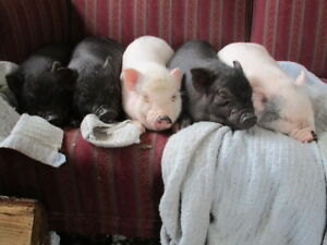 micro pig babies for sale