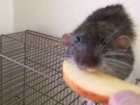Male dumbo rats for sale