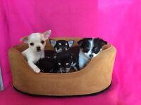 Chihuahua puppy boy (last one)