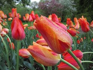Fall Bulb (TULIPS) Blowout: Save 50-70% OFF ENTIRE INVENTORY Kitchener / Waterloo Kitchener Area image 10