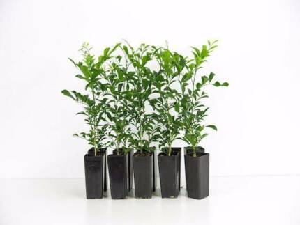 MURRAYA PANICULATA hedge plant 40mm tubestock