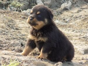 Big Head German Rottweiler Puppies
