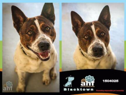 YOUNG WHITE & TAN MALE KELPIE X CATTLE DOG NEEDS NEW HOME! Blacktown Blacktown Area Preview