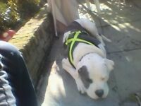 9 Month old American Bulldog for sale £250