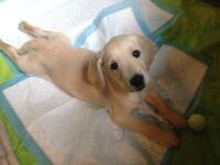 Labrador Retriever X Golden Retriever Pup