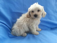 Beautiful Cavachon Puppy from King Charles Mother And Bichon Frise Father puppies dog