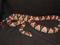 Durango Mountain King Snake