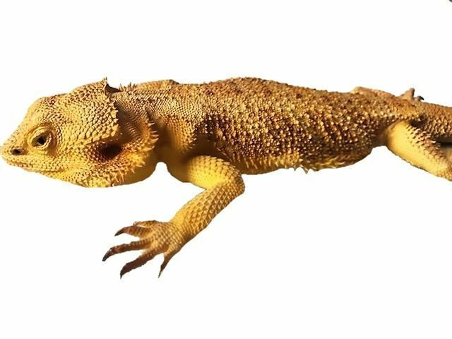 Lizard Bearded Dragon Reptile Prop Life Size Resin Statue