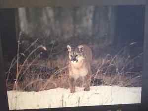 Cougar Picture London Ontario image 1