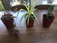 3 Indoor Plants in Ceramic Red Pots. Money Plant, Spider and Wandering Jew. Collect Fulham