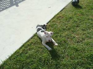 2 english staffy pups for sale Cobbitty Camden Area Preview