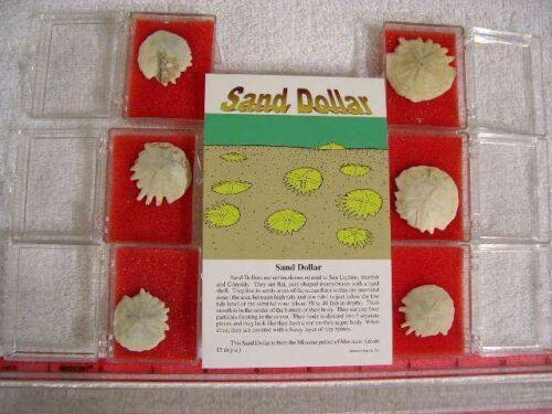 Sand dollar fossils echinoderm Miocene 4 per winner in display boxes