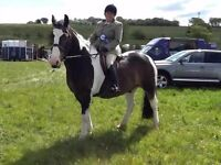 Looking for experienced adult rider to part loan 15.1hh