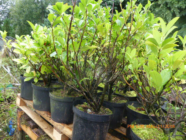laurel plants for hedge garden trees | in Crieff, Perth and Kinross |  Gumtree