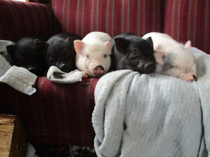 micro pot belly pig babies for sale