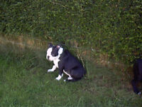 Greatly reduced Boston Terrier Puppy