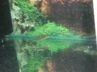 TROPICAL FISH (SILVER SHARK 5CM)