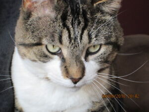 Beautiful young large male tabby to give away