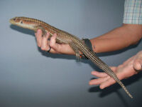 Handsome adult male Sudan plated lizard + accessories for sale