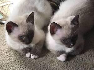 Ragdoll Cross Kittens (Ragdoll X Kittens) need their forever home Mill Park Whittlesea Area Preview