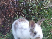 """""lop cross bunnies for sale""'"