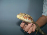 Handsome male Sudan plated lizard + accessories for sale