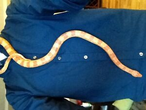 Beautiful and tame adult corn snake (just the snake)