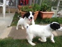 One Lonely Black & White Sprocker Puppy