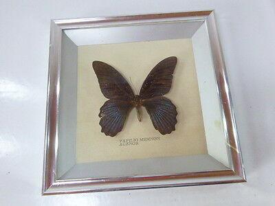 Attocas Atlas, großer Schmetterling im Glasrahmen