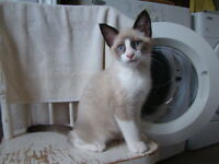 Ni...St... please contact me re: Siamese cross kittens
