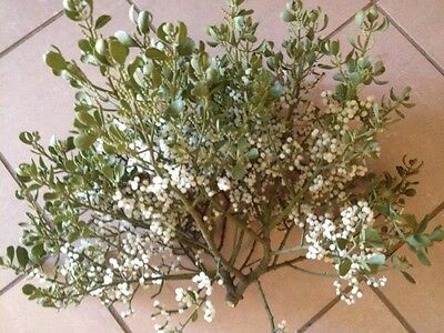 Fresh Cut Real Live Mistletoe With Berries Close to 2lbs
