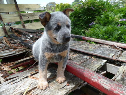Cattle Dog Puppies Waterfall Sutherland Area Preview