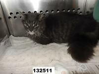 Long Haired Tabby Male Declawed and Netured