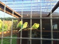 Exhibition budgie for sale