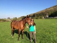 15.3 10 year old Irish gelding for loan 5/6 days a week in Clevedon near Bristol