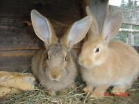 female flemish giant does 1 sandy 1 fawn color