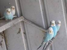 assorted budgies Anketell Kwinana Area Preview