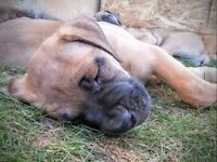 REGISTERED AMERICAN BANDOGGE MASTIFF LITTER 2016
