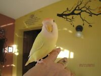 HAND TAME LOVEBIRD/RARE CREAMINO AND GREEN BLACK MASKED MUTATION
