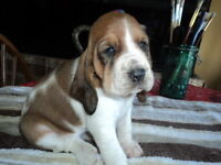 ALL MY BASSET HOUND PUPPIES HAVE BEEN PLACED IN LOVING HOMES