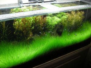 Aquascaping Plants: Dwarf Hair Grass
