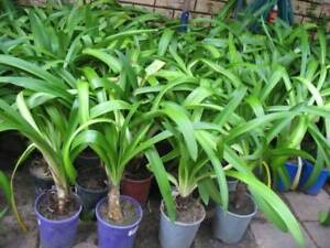 Potted beautiful agapanthus plants