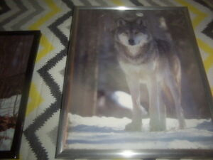 wolf pictures,wolf plate.