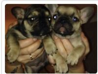 Stunning french bulldogs for sale!