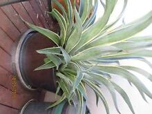 GIANT Dwarf Agaves in decorative ceramic pots Toowong Brisbane North West Preview